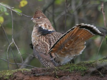 ruffed-grouse-pastatebird